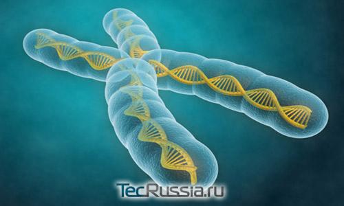 модель хромосомы и теломер